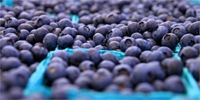 Blueberry Picking and Summer Blueberry Recipes