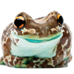 <em>Frogs: A Chorus of Colours</em> [ongoing]
