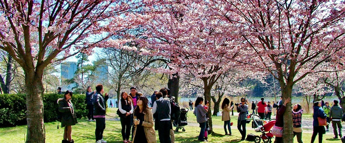 Best Places To See Cherry Blossoms In Toronto Help We Ve Got Kids