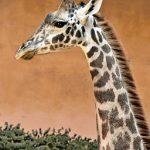 Giraffe in profile