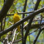 Yellow Warbler image by M Campbell