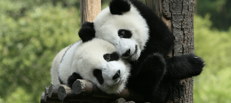 Two panda bears in a tree from a virtual zoo tour